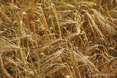 Пшениця, жито, овес InterNetri  Ukraine 032