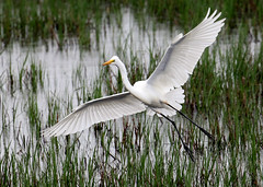 Graceful Flight....6O3A2532A (dklaughman) Tags: greategret egret bombayhooknwr delaware bif