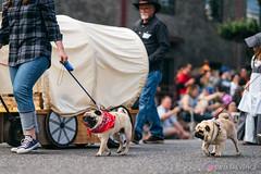 PugCrwal-55 (sweetrevenge12) Tags: portland oregon unitedstates us pug parade crawl brewing sony pugs dog pet