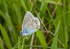 Common Blue (Marion CW (Marion in Cornwall)) Tags: commonblue butterfly cornwall gwithiannaturereserve
