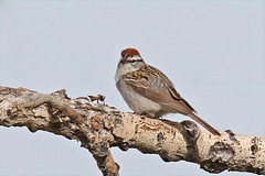 Chippy Chipping Sparrow (Jan Nagalski (off for awhile)) Tags: bid nature wildlife sparrow chippingsparrow spring rockymountainarsenal wildliferefuge commercecity denver colorado jannagalski jannagal