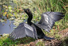 Preparing For Flight (Robert F. Carter Travels) Tags: anhinga anhingaanhinga anhingas bird birdwatching birding birds cbbr circlebbarreserve wetland wetlands florida lakeland wildlife nature