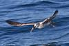 Gabbiano 058 (Rolando CRINITI) Tags: gabbiano uccelli uccello birds ornitologia viareggio costaltrip toscana natura evolution