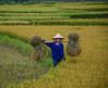 People working on rice field in summer (phuong.sg@gmail.com) Tags: agriculture asia asian colorful country countryside culture curve environment farm farming field food green harvest indochina july labor landscape life mountain nature organic paddy people person plant rice rural sapa scene scenic seedlings terrace terraced thai thailand tourism traditional transplant travel valley vietnam woman work worker