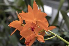 Orange Flowers (dckellyphoto) Tags: washingtondc washington districtofcolumbia dc 2018 hillwoodestate