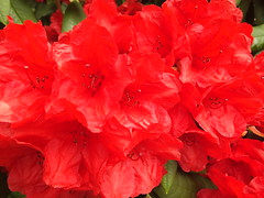 Red Rhododendron (Cornishcarolin. Stupid busy!! xx) Tags: cornwall httpswwwnationaltrustorguktrelissick flowers trees bushes rhododendron nature