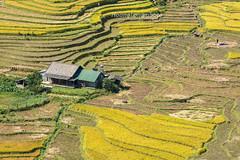 _29A0347.0917.Lao Chải.Sapa.Lào Cai (hoanglongphoto) Tags: asia asian vietnam northvietnam northwestvietnam landscape scenery vietnamlandscape vietnamscenery vietnamscene terraces terracedfields terracedfieldsinvietnam valley muonghoavalley harvest canon làocai sapa thunglũngmườnghoa phongcảnh ruộngbậcthang lúachín mùagặt sapamùalúachín sapamùagặt laochải landscapewithpeople phongcảnhcóngười canoneos5dsr canonef200mmf28liiusm house ngôinhà home