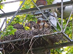 GT Hawk Nest - 0534 (rbs10025) Tags: redtailedhawk buteojamaicensis bird manhattan nyc grantstomb generalgrantnationalmemorial nest young morningsideheights