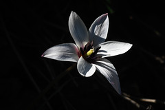 Tulip (mellting) Tags: eskilstuna nikond500 platser rothfossparken bloggad flickr instagram matsellting mellting nikkor5018 nikon sverige sweden tulip tulipa tulpan flower plant