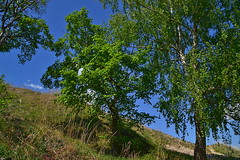 Crooked linden (МирославСтаменов) Tags: russia zhiguli mogutova slope mountain hill tree linden birch crown