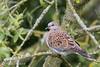 Tourterelle des bois (Corinne Ménardi) Tags: aves birds columbidae columbidés columbiformes europeanturtledove oiseaux streptopeliaturtur tourterelledesbois