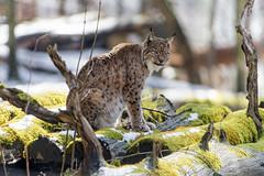 Lynx on te logs (Tambako the Jaguar) Tags: lynx big wild cat posing standing logs wood trees moss snow winter cold sunny portrait tierparklangenberg wildpark zürich switzerland nikon d5