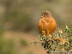 181.Rock Kestrel...Kransvalk (myphotos6503) Tags: rockkestrel kestrel wildlife nature bird kransvalk valk