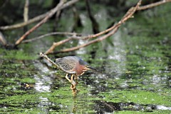 Small Green Heron (adamsdale616) Tags: beauty nature outdoor wisconsin dusk autumn golden waterfront pond sky light new usa spring midwest colorful landscape northern nikon detail outside beautiful digital focus d7200 tree color reflection animals wildlife birds wings animal flying heron