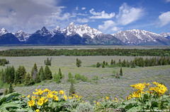 Grand Tetons from Glacier View Overlook (walkerross42) Tags: grandteton nationalpark wyoming mountains wildflowers flowers arrowleafbalsamroot glacierview overlook valley sky clouds snow peaks