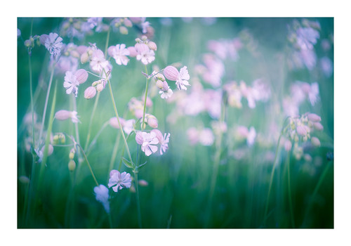 """White Campion • <a style=""""font-size:0.8em;"""" href=""""http://www.flickr.com/photos/110479925@N06/27803310747/"""" target=""""_blank"""">View on Flickr</a>"""