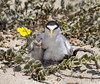 Daily dose of cuteness (Sandrine Biziaux-Scherson) Tags: least tern chicks chick sandrine scherson bird biziaux birds beach nature nest wildlife water wild wings california