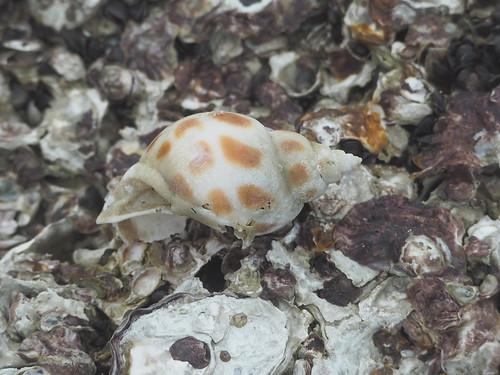 Snail, Genus Babylonia