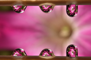 Six drops and reflection of petunia flowers
