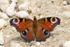 Hypnotizing colors. (Gergely_Kiss) Tags: hazailepkefajok insectmacro colorfulbutterfly butterflycloseup hungarywildlife europeanbutterflies butterfly peacock aglaisio nappalipávaszem
