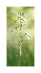Himantoglossum adriaticum (AIIex) Tags: orchid orchidea wildorchid macro nature nikon nikkor 300mm orchideespontanee himantoglossum flower darktable linux pietraporciana