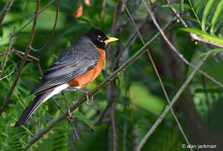 American Robin, John Heinz Wildlife Refuge