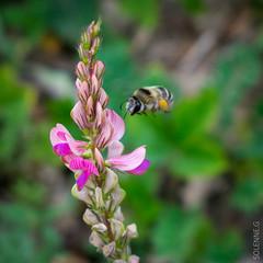 Abeilles et co (solennegau) Tags: insectes nikon d3400 nature fleurs montagne couleur couleurs animal macro abeille fleur plante insecte