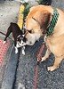 163/365 (moke076) Tags: 2018 365 project 365project project365 oneaday photoaday iphone cell cellphone mobile bigmeetslittle moose great dane dog animal pet boston terrier small large street sidewalk meeting friends