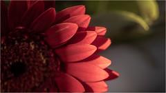 Flower Power . (:: Blende 22 ::) Tags: germany deutschland flower blumen pink macro canoneos5dmarkiv color farben spring frühling usm ef100mmf28macrousm