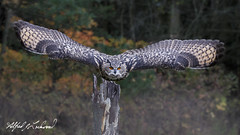 Eurasian Eagle Owl_T3W3715 (Alfred J. Lockwood Photography) Tags: alfredjlockwood nature bird eurasianeagleowl takeoff flight canadianraptorconservancy morning autumn crc canada ontario