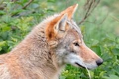 Portrait de loup (BPBP42) Tags: animal nature loup wolf