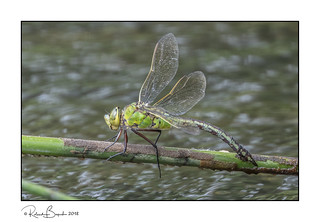 Emperor Dragonfly (f) about to lay her eggs in the water