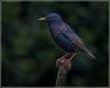 Starling (Ed Phillips 01) Tags: starling sturnus vulgaris bird adult staffordshire garden