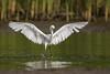 Sticking Snow (gseloff) Tags: snowyegret bird flight landing bif water nature wildlife animal reeds bayou horsepenbayou pasadena texas kayak gseloff