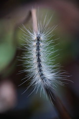 Caterpillar (Kat~Morgan) Tags: quite hairy one nature insect caterpillar sonya3000