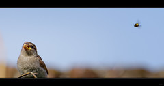 Le Moineau, la graine et l'abeille... (Alexandre LAVIGNE) Tags: hd pentaxd fa 150450mm f4louis engivalpentax k1format 2351556 ed dc aw abeille bee bird graine k1 moineau nature oiseau seed sparrow hdpentaxdfa150450mmf4556eddcaw