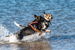 neck and neck (RCB4J) Tags: ayrshire clydecoast firthofclyde irvinebeach jakob rcb4j ronniebarron scotland sigma150500mmf563dgoshsm sonyilca77m2 art babygrace beach dobermanterrier dogs fun photography play playing sand siameselurcher traile trailhound