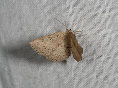 Oenochrominae sp. (dhobern) Tags: 2018 april australia lepidoptera nsw southeastforestsnationalpark geometridae oenochrominae