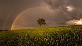 Lone tree under a rainbow