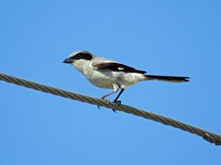 Loggerhead Shrike, Cape Coral, 070518