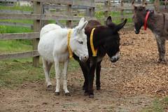 IMG_20180529_104414 (Luna-Woona Moon) Tags: donkeys rescue animals equine devon england