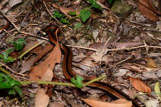 Sauter's Coral Snake 2