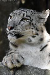 Snowleopard - Zoo Amneville (Mandenno photography) Tags: animal animals snow snowleopard leopard zoo dierenpark dierentuin dieren amneville zooamneville bigcat big cat cats france frankrijk