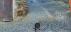 Gato de los pocos habitantes de Asnurri (FOTOS PARA PASAR EL RATO) Tags: catalunya asnurri cats cat gatos gato