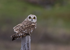 04 06 2018 (cathyk31) Tags: oiseau hiboudesmarais asioflammeus shortearedowl strigidés strigiformes bird