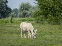 P5310622 (turbok) Tags: ebene esel haustiere landschaft seewinkel tiere c kurt krimberger