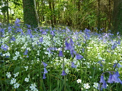 "Bluebells & Greater Stitchwort • <a style=""font-size:0.8em;"" href=""http://www.flickr.com/photos/61957374@N08/28707179708/"" target=""_blank"">View on Flickr</a>"