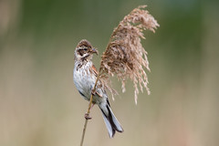 Reed Bunting (Simon Stobart) Tags: reed bunting with food emberiza schoeniclus female perched northeast england