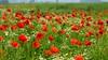 La plus belle de toutes les fleurs est la fleur de la Liberté - Jean Fischart (Corinne Lejeune Girot) Tags: rouge red coquelicots coquelicot poppy nature sauvage wild liberté liberty meadow peaceful zen calme couleur color
