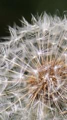 Dandelion seeds (katsuko_dolphin) Tags: dandelion seeds japan flicker
